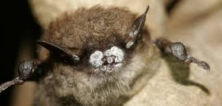 Bats in almost two dozen states and some Canadian provinces are affected by white-nose syndrome. (Photo: USFWS)