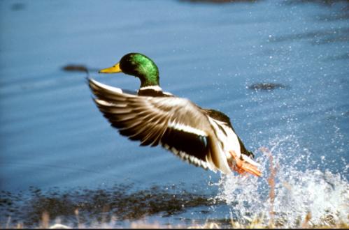 Mallard Duck USFWS