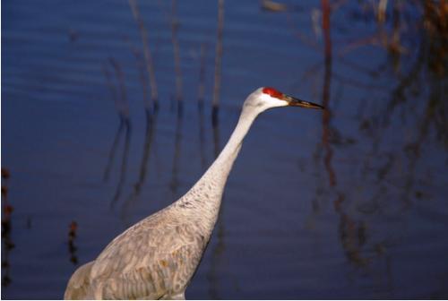 Sandhill crane USFWS2