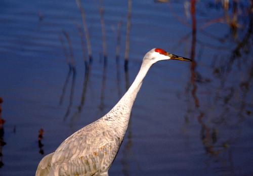 sandhill-crane-fws
