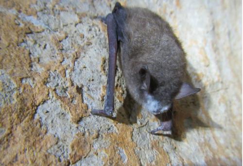 Southeastern Bat